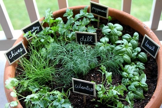 Merveilleux Herbs Growing In This Pot: Parsley, Dill, Chives, Basil, Cilantro