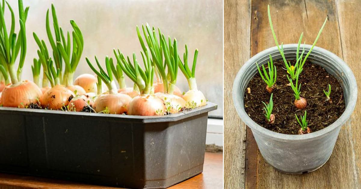 How To Grow Green Onions | Growing Green Onions In Containers Year Round