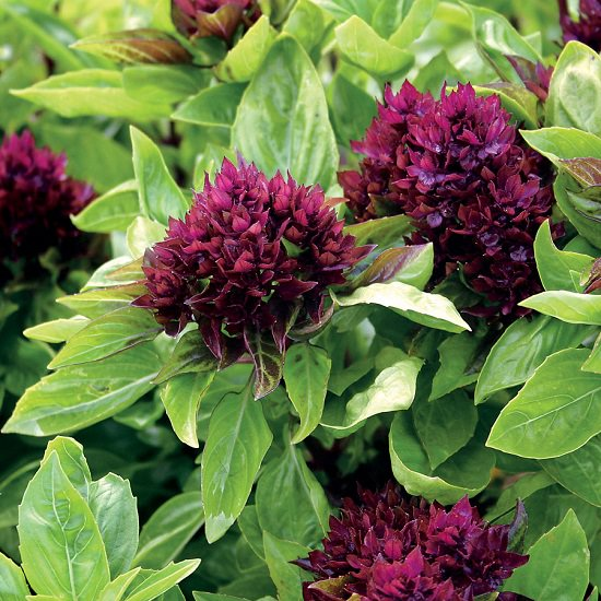 Learn about 18 Types of Basil that you can grow in your garden and containers for their appearance, aroma, and culinary and medicinal uses!