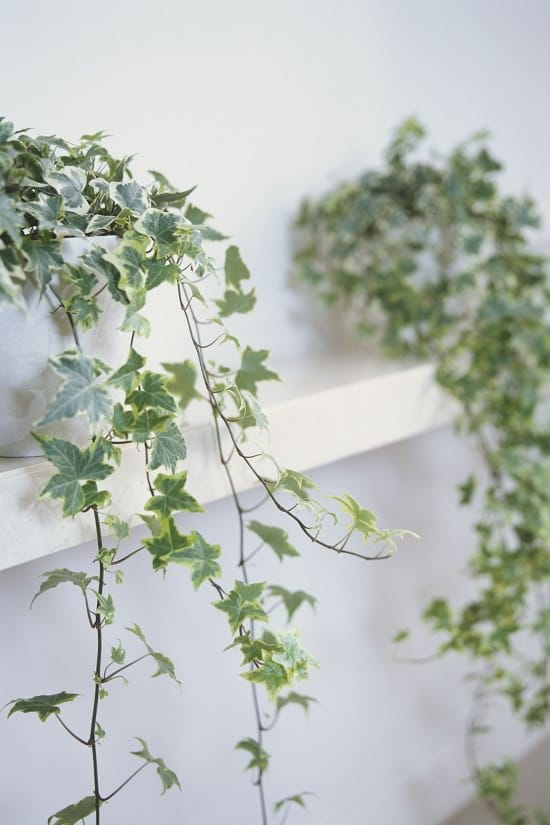 Types of Ivy Houseplants