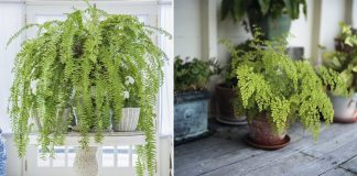 Want to grow lush and green ferns like never before? Well, here's one secret!
