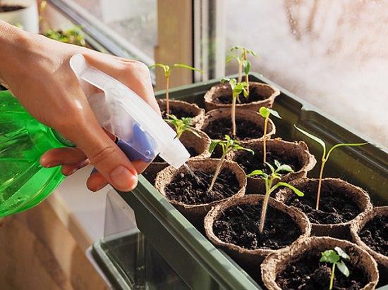 How to water seedlings