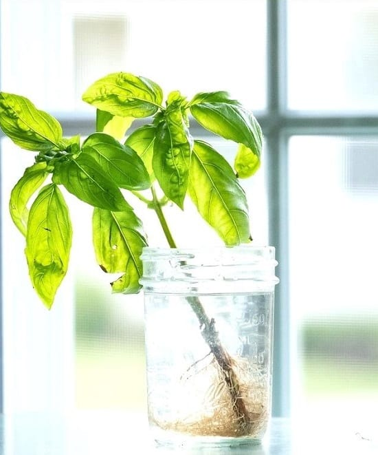 Growing Basil in Water | How to Grow Basil in Water