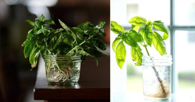 Growing Basil in Water | 9 Steps for Never Ending Supply of Basil