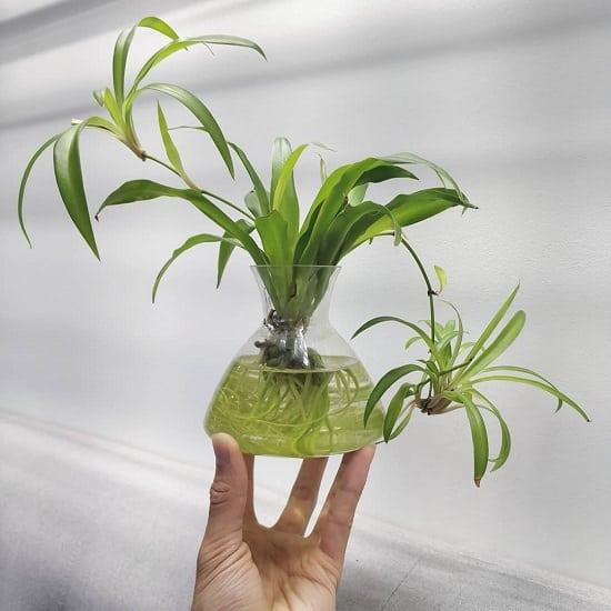 Growing Spider Plants Indoors: 16 Amazing Indoor Plants That Grow In Water