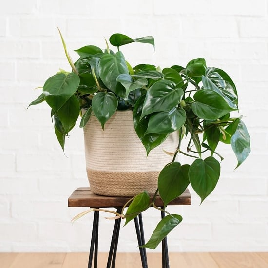 Absolute best Indoor Plants Recommended By NASA
