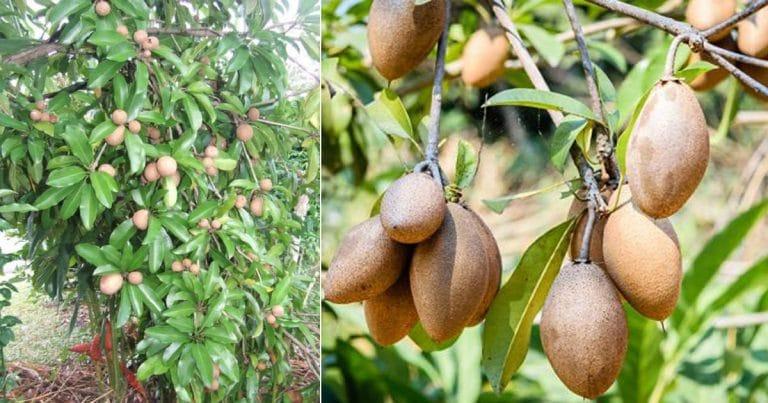 Growing Sapodilla Tree and Care | How to Grow a Sapodilla Tree