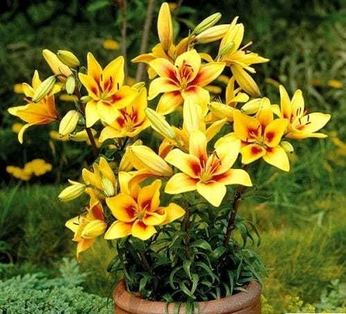 Best Types of Lilies 5