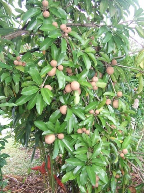 Growing Sapodilla Tree and Care 2