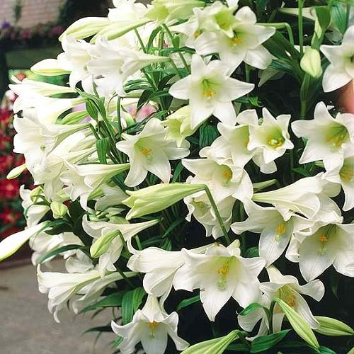 Best Types of Lilies 18