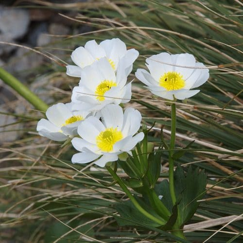 Best Types of Lilies 26