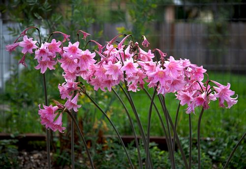 Best Types of Lilies 27