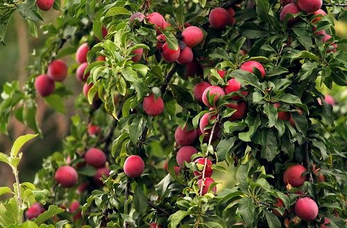 Fruits You Can Grow in Balcony 3