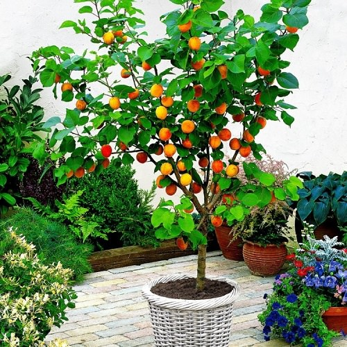 Fruits You Can Grow in Balcony 5