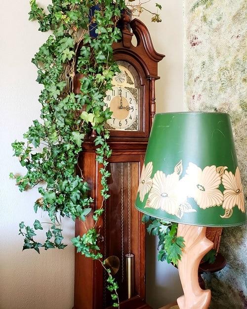 Types of Ivy Houseplants 7
