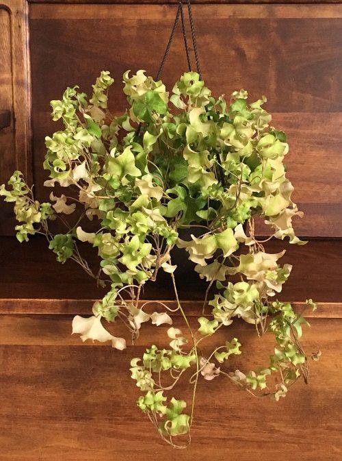 Types of Ivy Houseplants 8