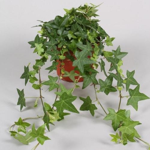 Types of Ivy Houseplants 10