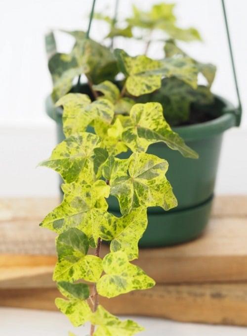 Types of Ivy Houseplants 11
