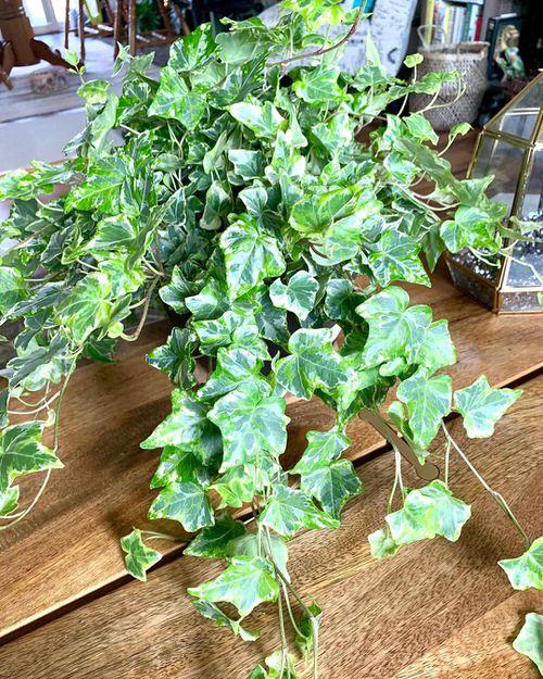 Types of Ivy Houseplants 13
