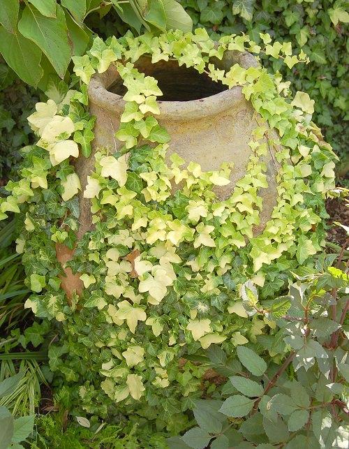 Types of Ivy Houseplants 2