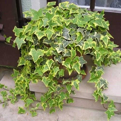 Types of Ivy Houseplants 3