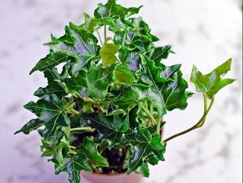 Types of Ivy Houseplants 4
