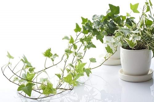 Types of Ivy Houseplants 5