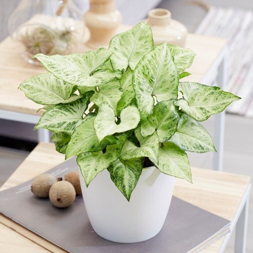 Houseplants that Grow In Dry Air 5