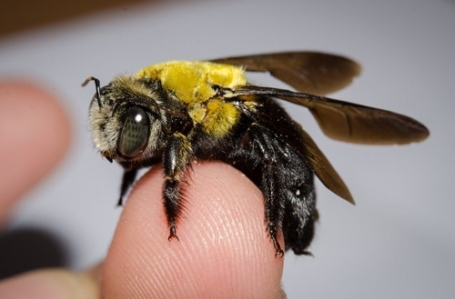 How to Get Rid of Carpenter Bees Naturally