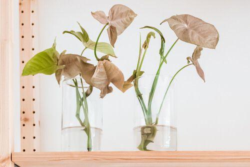 Growing Arrowhead Plant in Water 2