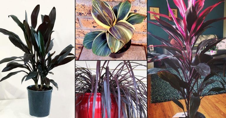 14 Beautiful Indoor Cordyline Varieties | Ti Plant Types
