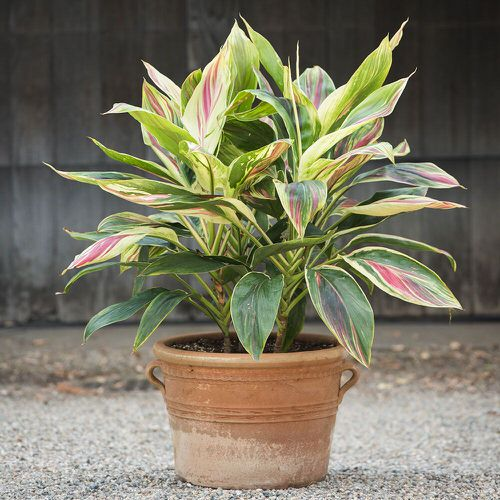 Beautiful Indoor Cordyline Varieties 2