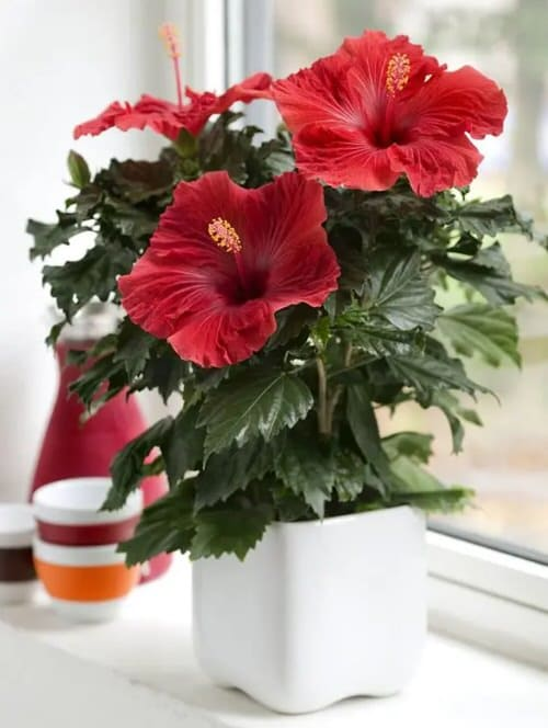 Outdoor Plants that Can be Grown as Indoor Plants 4