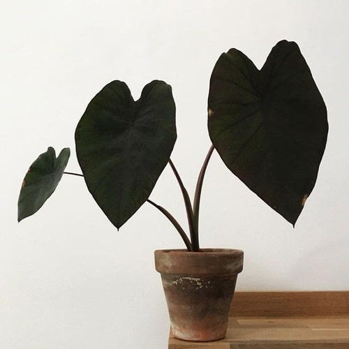 Outdoor Plants that Can be Grown as Indoor Plants 5