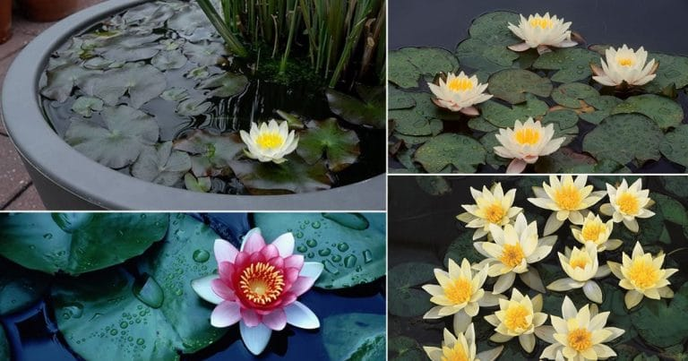 20 Miniature Water Lily Varieties for a Container Water Garden