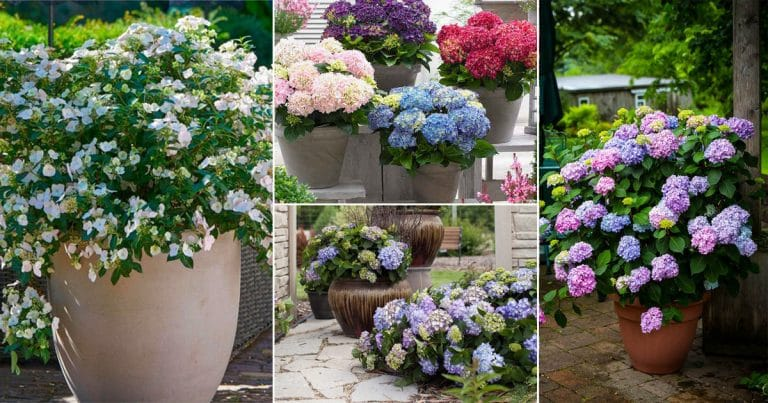 25 Awesome Pictures of Container Gardening with Hydrangeas