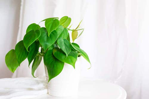 Pictures of the Best Small Houseplants 26