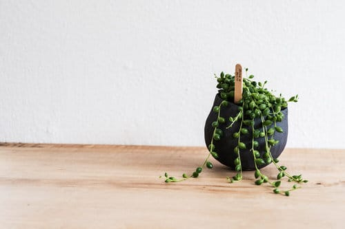 Pictures of the Best Small and Compact Houseplants 3