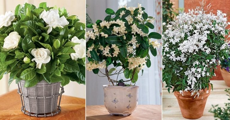 8 Best Indoor Jasmine Varieties to Grow