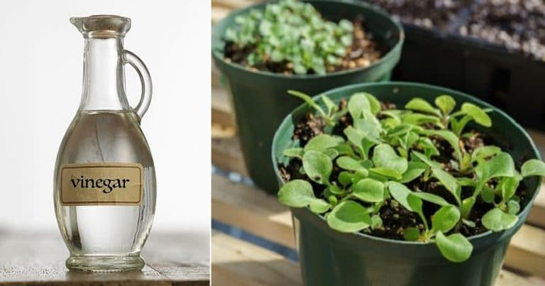 How Vinegar Improves Seed Germination (Proven by Science)