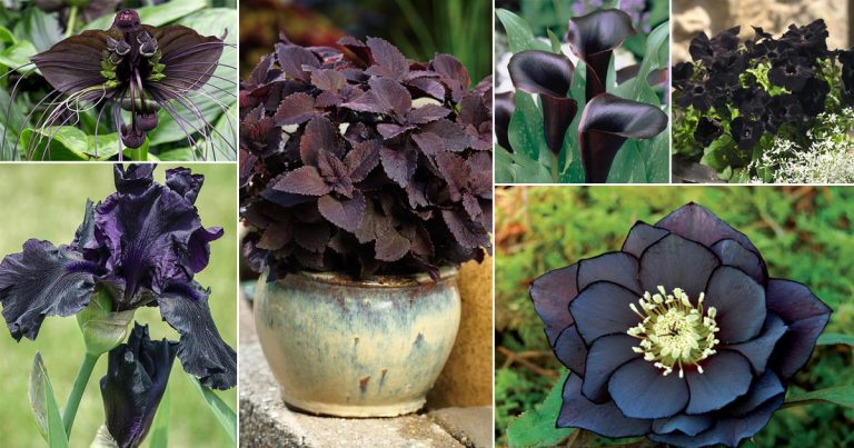 28 BLACK Flowers And Plants to Add Drama To Your Garden