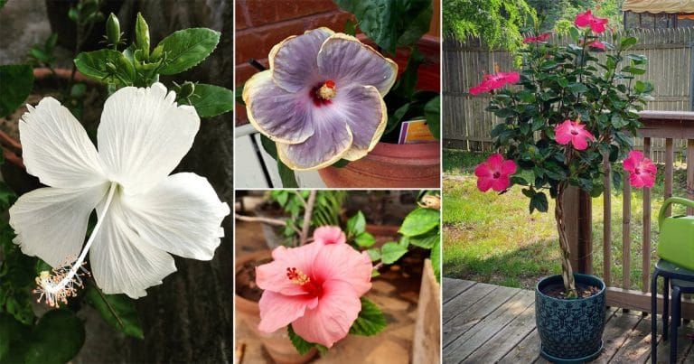 35 Beautiful Hibiscus Pictures From Instagram