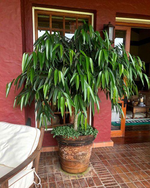 Houseplants that Look-Like Fiddle Leaf Fig