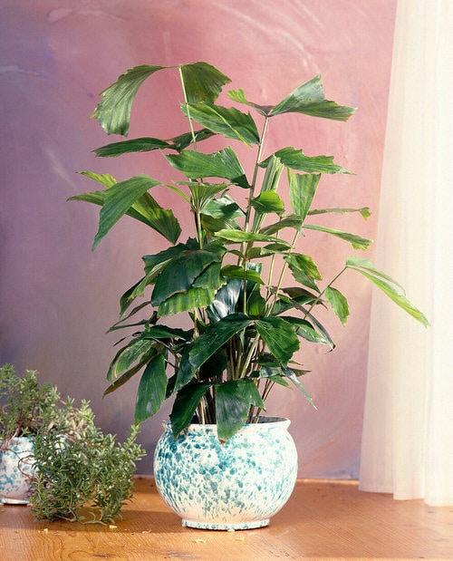 Houseplants that Look-Like Fiddle Leaf Fig 21