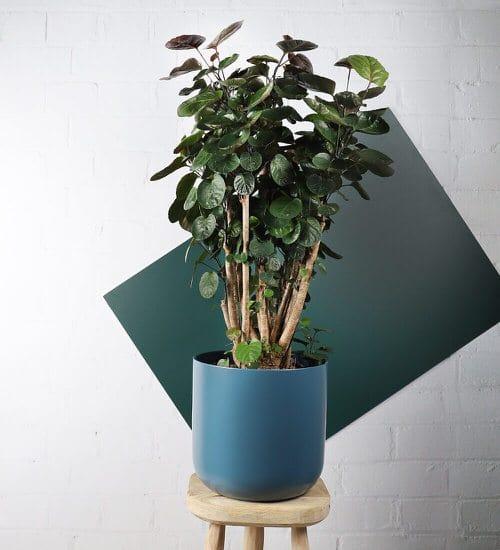Houseplants that Look-Like Fiddle Leaf Fig 20