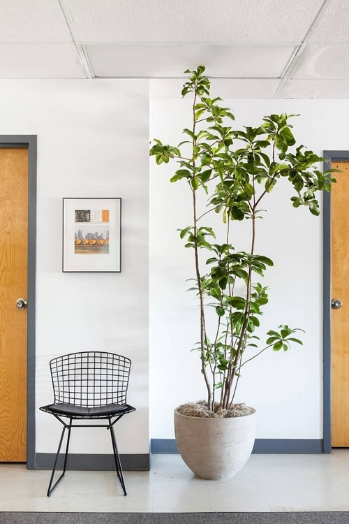 Houseplants that Look-Like Fiddle Leaf Fig 3