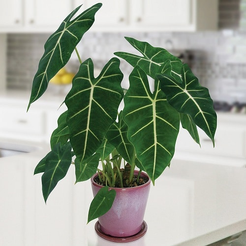 Indoor Plants with White Striped Leaves 4