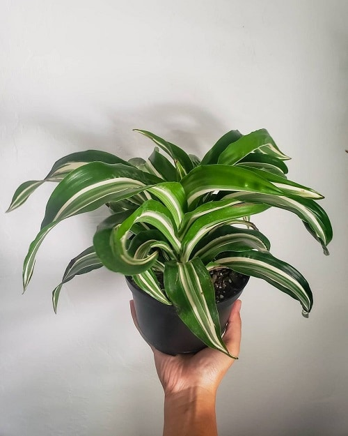 Indoor Plants with White Striped Leaves 5